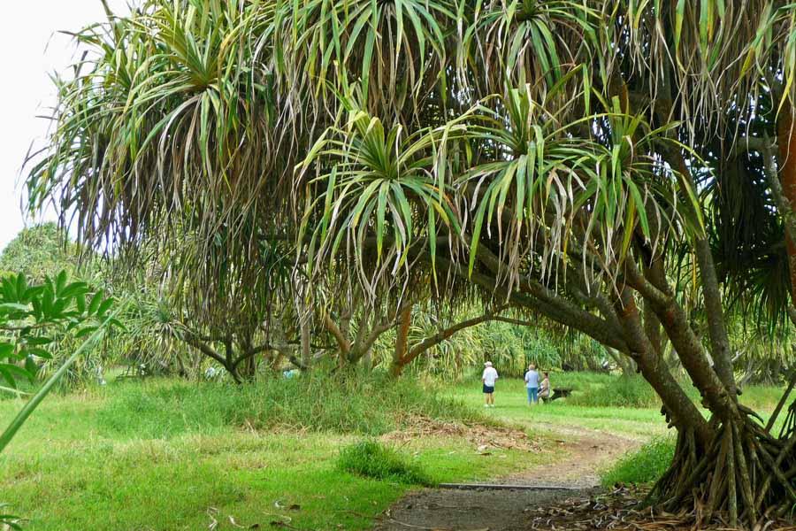 Pools Of Oheo People on Path & Lauhala Trees