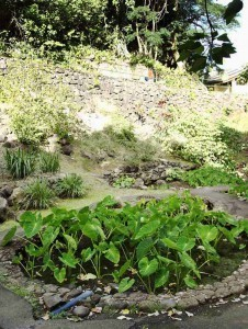 Growing Taro In Iao