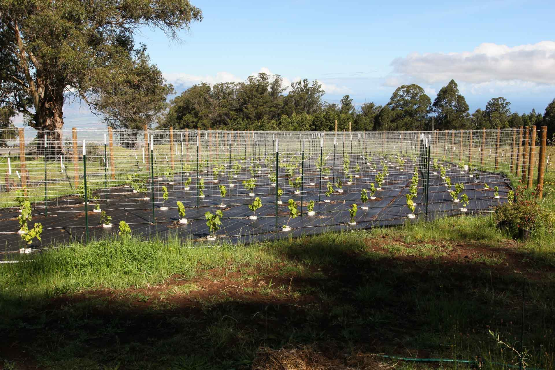 new-upcountry-orchard