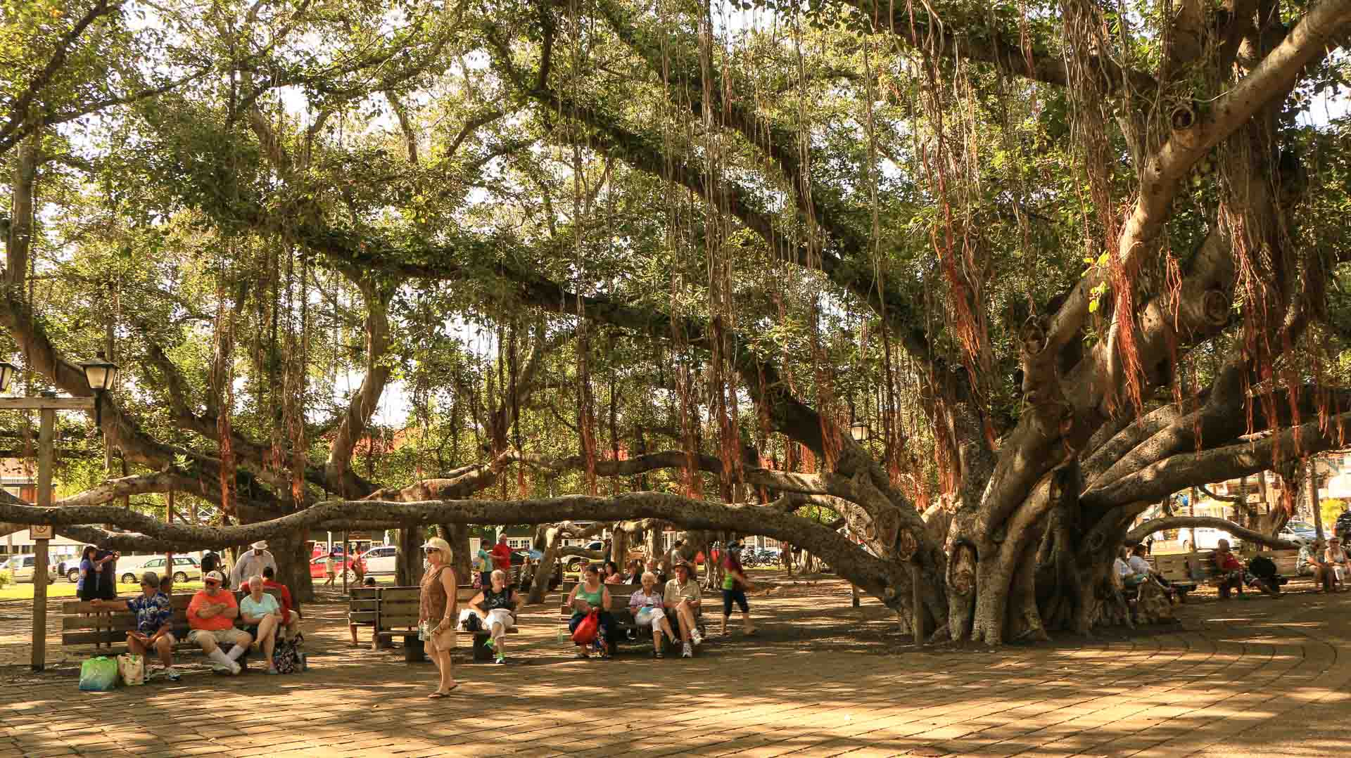 visitors under lahaina banyan tree